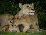 Lioness and Two Cubs Resting in the Shade