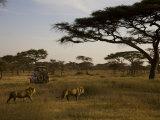African Lions Walk Through a Plain While a Safari Vehicle Looks On