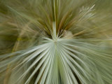 Detail of Mexican Blue Palm Fronds  Erythea Armata