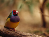 Brilliant Plumage of an Endangered Gouldian Finch Roosting