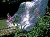 Fireweed and Ouzel Falls  Near Big Sky