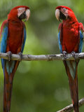 Pair of Scarlet Macaws Perched on a Tree Limb