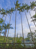 Extremely Tall Palm Trees over 50-Feet-Tall Line the Coast of Hawaii