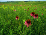 Field of Purple Coneflowers