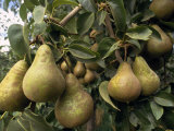 Pears Hang from a Pear Tree