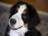 Young Bernese Mountain Dog Eagerly Awaits Her Treat