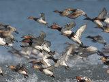 Canvasback Ducks  Aythya Valisineria  Taking Flight from the Water