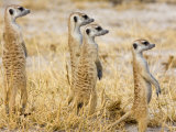 Group of Standing Meerkats  Suricata Suricatta