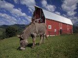 Donkey Grazing Near a Large Red Barn Papier Photo par Ed George