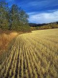 Fall Wheat Stubble in Fields Near Bozeman