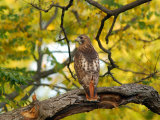 Red-Tailed Hawk  Buteo Jamaicensis  Perched on a Tree Branch