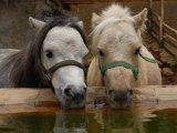 Two Ponies Meet for a Refreshing Drink of Water