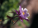 Purple Columbine Flower in Bloom
