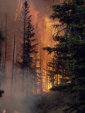 Forest Fire Blazing Through an Evergreen Forest