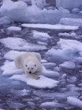 Polar Bear Drifts on Floating Ice in the Arctic Ocean