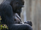 Gorilla Mother Looking Down at Her New Born Baby