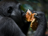 Female Western Lowland Gorilla Eating Fruit