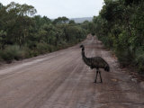 Emu Crossing a Tree Lined Dirt Road