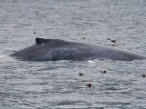 Humpback Whale (Megaptera Novaeangliae) Surfacing with Puffins