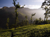Tea Bushes Grow in the World's Largest Tea Estates