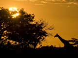 Giraffe at Sunset at Etosha National Park