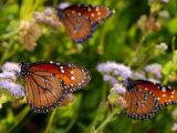 Monarch Butterflies  Danaus Plexippus  at Flowers on Migration Route