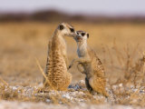Pair of Meerkats  Suricata Suricatta