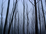 Eerie Winter Storm Descends on a Fire Ravaged Eucalyptus Forest