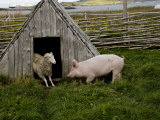 Pig and Sheep at Small Hutch in L'Anse Aux Meadows  a Viking Village
