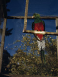 Close-up of a Quetzal Sitting on a Manmade Perch in a Cage