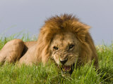 Snarling African Lion Lying in the Grass