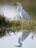 Snowy Egret (Egretta Thula) in the Los Cerritos Wetlands