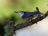 White-Breasted Nuthatch  Sitta Carolinensis  Perching on a Branch