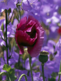 Poppy Flower and Seed Pod Among Blue Flowers