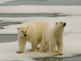 Two Polar Bears Stand on a Piece of Ice