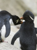 Pair of Rockhopper Penguins Grooming Each Other