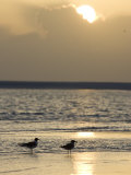 Two Birds on a Sandy Beach at Sunset