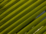 Close Up Detail of a Coconut Palm Frond
