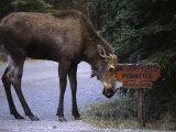 Moose Says No to Tourism