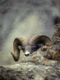 Bighorn Sheep Sneaks a Peak at the Photographer