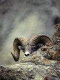 Bighorn Sheep Sneaks a Peak at the Photographer Papier Photo par Michael S. Quinton