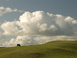 Cow Grazing on the Hills Near Killdeer  North Dakota