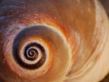 Close Up of a Moon Snail Shell Showing the Spiral