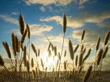 Wild Wheat Growing on the Shores of Lake Alexandrina  Sa