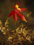 Close View of Sweet Gum Leaf and Dried Weeds in Autumn Hues