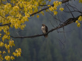 Red-Tailed Hawk in Grand Teton National Park in the Fall