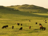 Cattle Grazing on the Hills Near Killdeer  North Dakota
