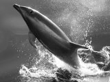 Bottlenose Dolphin  Tusiops Truncatus  Leaping from the Water