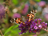 American Painted Lady Butterfly  Vanessa Virginiensis  on Flowers