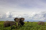 African Elephant Herd Eating Lush Vegetation